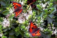 Hans-Peter Schemm Schmetterlinge