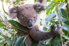 Dirk_Koala